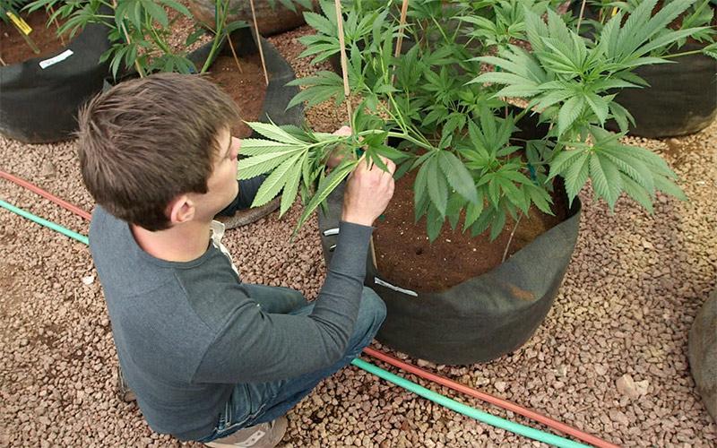 marijuana-plant-thc