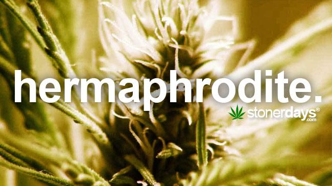 hermaphrodite-marijuana-plant