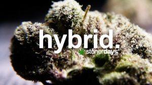 hybrid-marijuana-strain