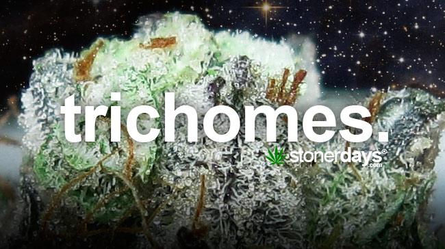 trichomes-marijuana