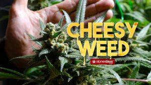 CHEESY-WEED