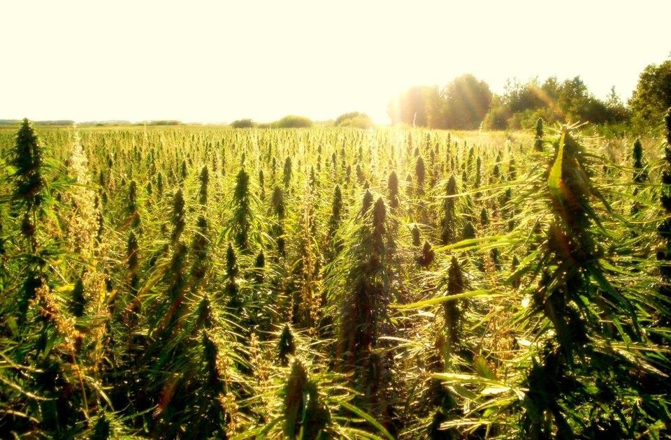 marijuana fields stonedays